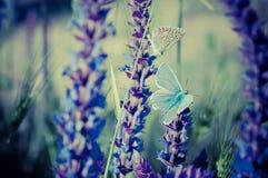 Mariposa azul en la flor Imagen de archivo