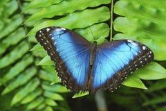 Mariposa azul en las hojas verdes Foto de archivo libre de regalías