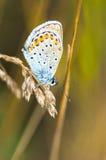 Mariposa azul en un tronco Imagenes de archivo