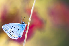 Mariposa azul en un tronco Imagen de archivo