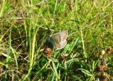 Mariposa azul en una flor Imagenes de archivo