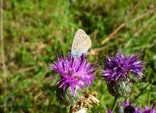 Mariposa azul en una planta rosada Imágenes de archivo libres de regalías