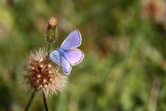 Mariposa-azul-flor-otoño Imagen de archivo