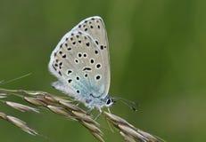 Mariposa azul grande Imagen de archivo libre de regalías