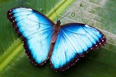 Mariposa azul hermosa Foto de archivo