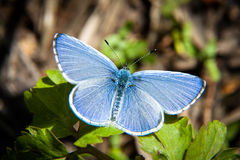 Mariposa azul hermosa Fotos de archivo libres de regalías