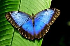 Mariposa azul magnífica de Morpho Foto de archivo