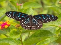 Mariposa azul marino del tigre Fotografía de archivo libre de regalías