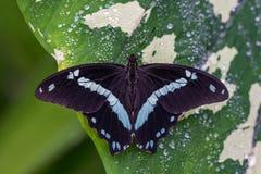 Mariposa azul o el emperador, peleides del morpho del morpho que descansan sobre una flor imágenes de archivo libres de regalías