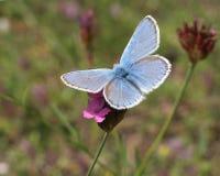 Mariposa azul (polyommatus Ícaro) Foto de archivo