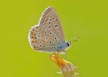 Mariposa azul (Polyommatus Ícaro) foto de archivo libre de regalías