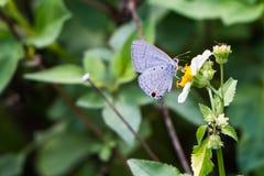Mariposa azul que se sienta en una flor Fotografía de archivo