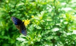 Mariposa azul rayada del cuervo Imagen de archivo