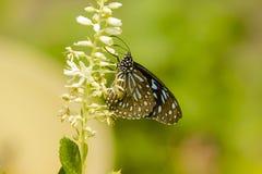 Mariposa azul rayada del cuervo en la flor Imagen de archivo libre de regalías