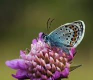 Mariposa azul tachonada plata en la flor púrpura Imágenes de archivo libres de regalías