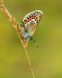 Mariposa azul tachonada plata que va abajo encendido Fotografía de archivo