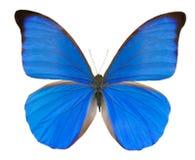 Mariposa azul tropical Foto de archivo libre de regalías