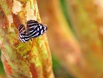 Mariposa azul tropical de la onda en árbol Fotos de archivo