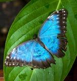 Mariposa azul vibrante Imágenes de archivo libres de regalías