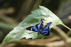 Mariposa azul y negra en una hoja en las cataratas del Iguazú, lado del Brasil Fotografía de archivo libre de regalías