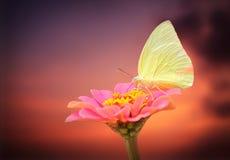 Mariposa bastante blanca en la flor rosada del zinnia con el fondo del cielo Imagenes de archivo