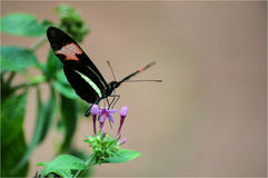 Mariposa. Beautiful butterfly black in its natural habitat stock photography