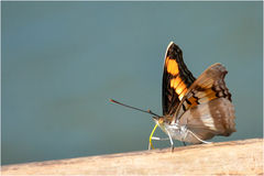 Mariposa. Beautiful butterfly in its natural habitat royalty free stock photography