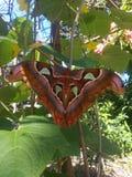 Mariposa. Big Mariposa Butterfly stock photography