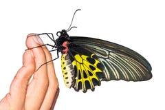 Mariposa birdwing de oro Imagenes de archivo