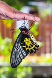Mariposa birdwing de oro Imágenes de archivo libres de regalías