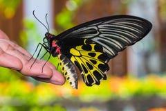 Mariposa birdwing de oro Fotografía de archivo