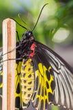 Mariposa birdwing de oro femenina Fotos de archivo libres de regalías