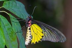Mariposa birdwing de oro masculina Fotografía de archivo libre de regalías