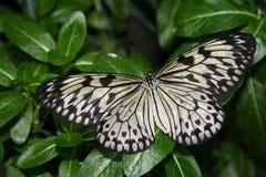 Mariposa blanca Imágenes de archivo libres de regalías