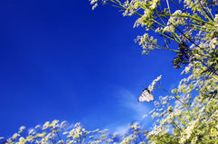 Mariposa blanca. Imagen de archivo