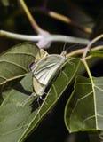 Mariposa blanca Fotos de archivo