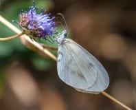 Mariposa blanca Fotografía de archivo