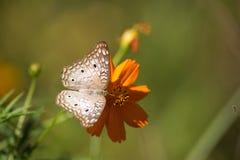 Mariposa blanca Foto de archivo libre de regalías