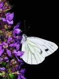 Mariposa blanca Imagenes de archivo