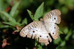 Mariposa blanca Anartia Jatrophae del pavo real Fotografía de archivo