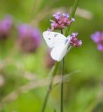 Mariposa blanca Checkered Imagenes de archivo