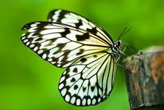 Mariposa blanca de la ninfa del árbol Foto de archivo libre de regalías
