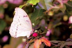 Mariposa blanca de Morpho imagen de archivo libre de regalías
