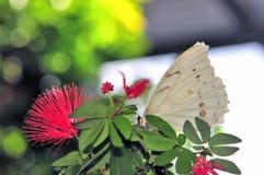 Mariposa blanca de Morpho en las hojas en pajarera Imagenes de archivo