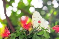 Mariposa blanca de Morpho en pajarera Foto de archivo libre de regalías