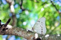Mariposa blanca de Morpho en rama de árbol en pajarera fotos de archivo