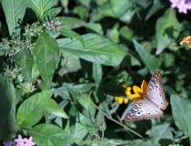 Mariposa blanca del pavo real Foto de archivo libre de regalías