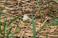 Mariposa blanca, después de la hibernación, sentándose en hierba seca del ` s del año pasado en primavera temprana Fotografía de archivo