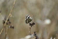 Mariposa blanca en el negro encaramado en rama seca fotografía de archivo libre de regalías