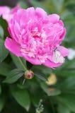 Mariposa blanca en el pión de la flor Imagenes de archivo